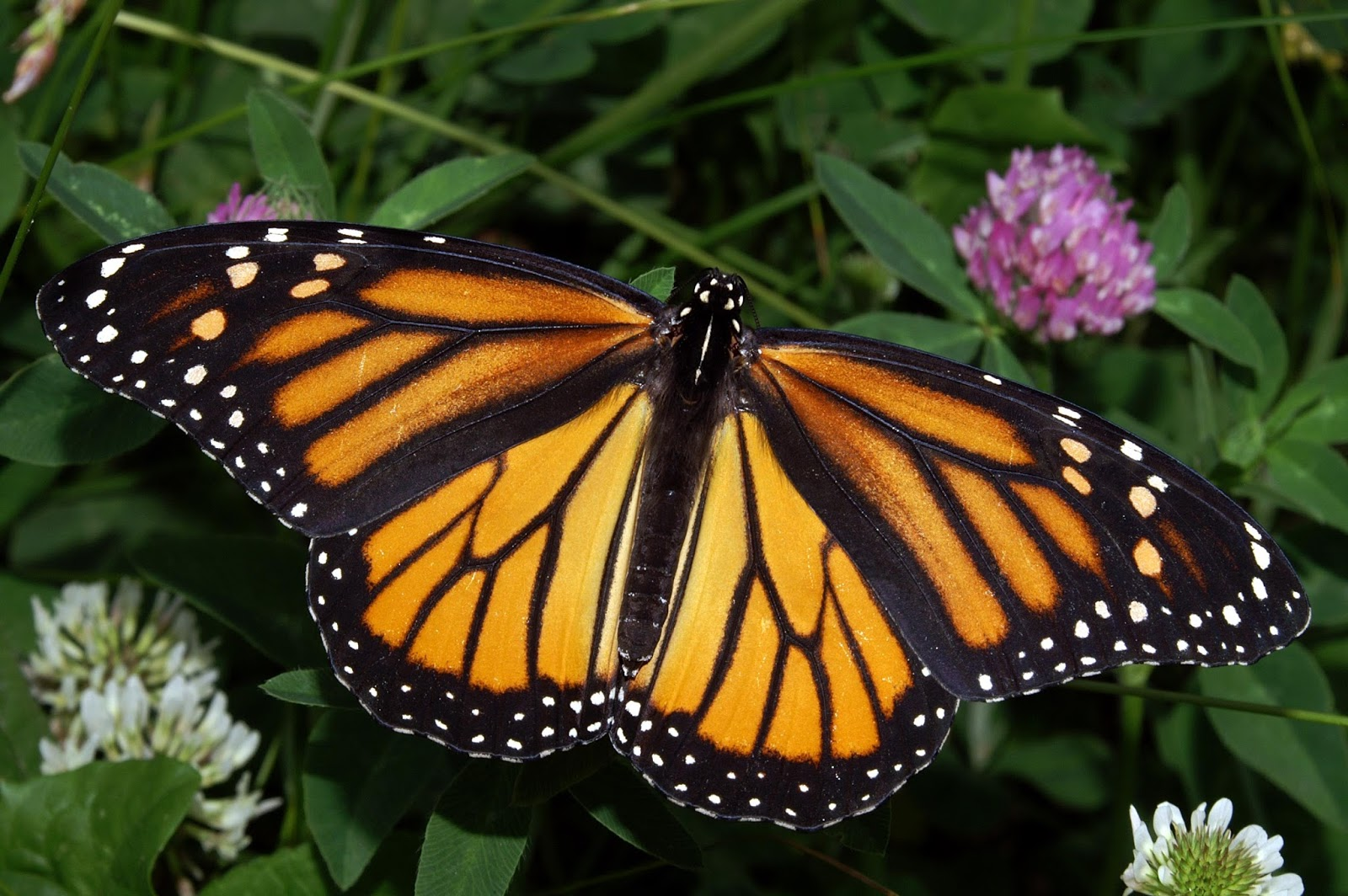 Butterflies: guides of species, images and resources.