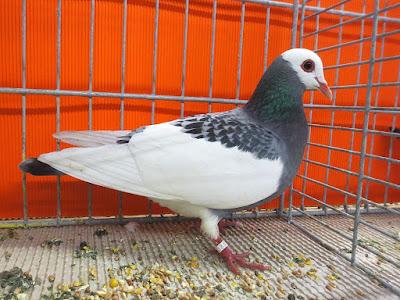 Bernhardin Magpie - color pigeons - blue pigeons