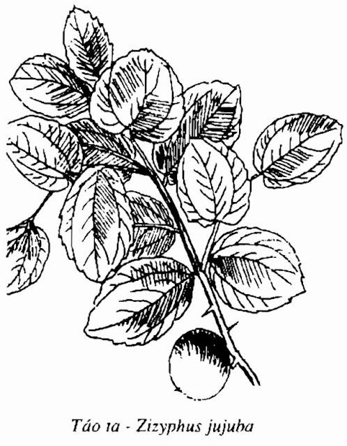 HÌNH VẼ CÂY TÁO TA - Zizyphus jujuba - Nguyên liệu làm Thuốc Ngủ, An Thần, Trấn Kinh