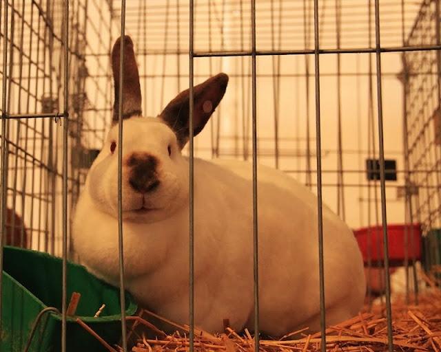 Fotos:Conejos en exposicion