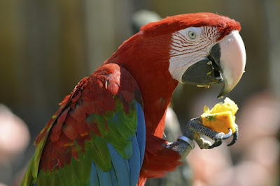 Macaw Parrot eating fruit