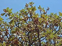 vitellaria paradoxa Image