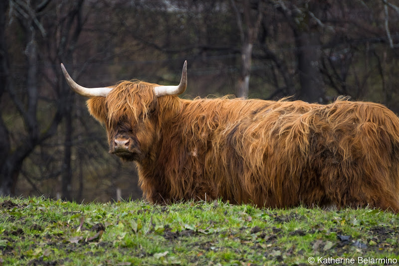 Highland Cow Scottish Highlands Road Trip Itinerary