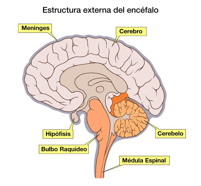 Biología Aplicada 4ºA -3- 2014: DISECCIÓN ENCÉFALO DE CORDERO Y ...