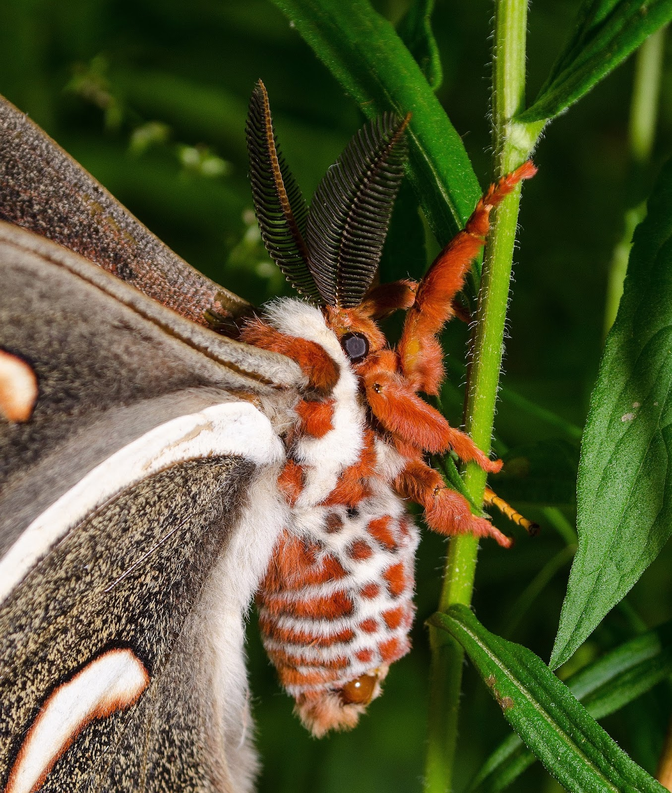 Cecropia Moth Body
