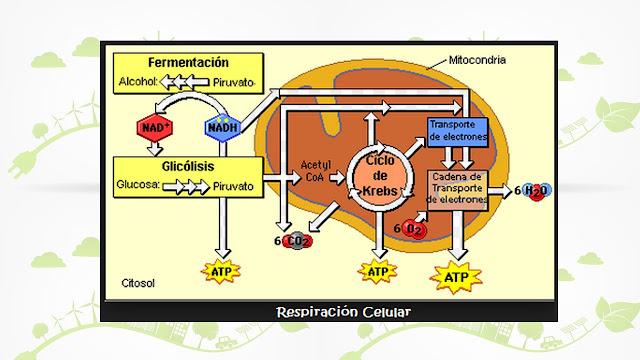 respiracion celular en la mitocondria