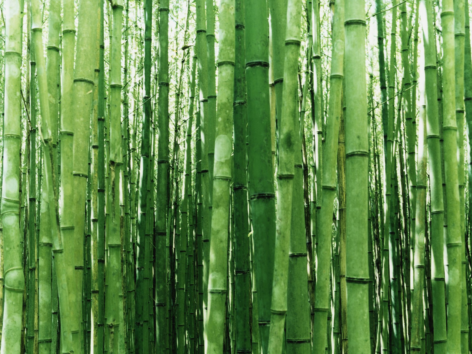 new wallpaper 2011: Bamboo Wallpaper