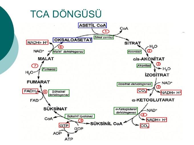 TCA Döngüsü Rol Alan Enzimler Krebs