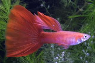 أسماك الطاووس الصينية الرائعة الجمال سبحــــــان الله image02524-752701.jp