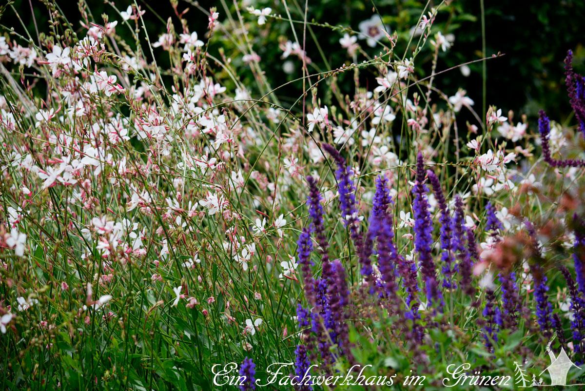 Salvia nemorosa und Gaura