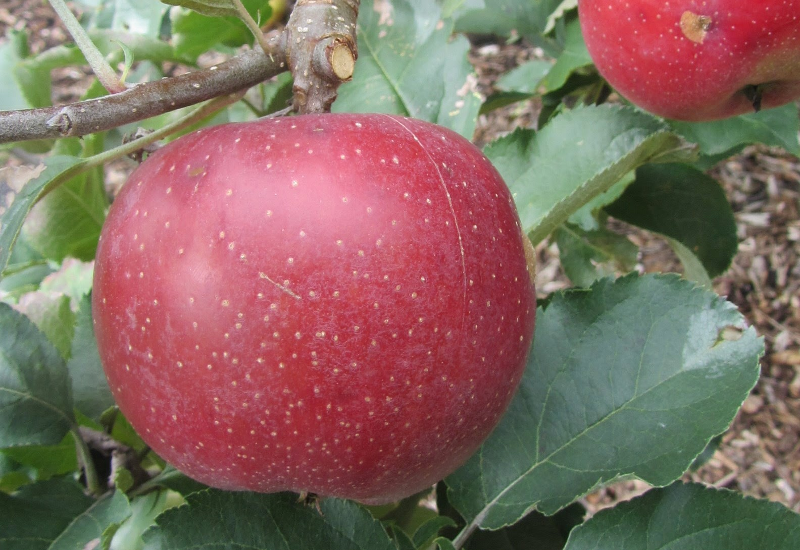 an apple orchard in usda hardiness zone 6 has a wide array of plant families that bloom throughout the year providing food for the bees and increasing