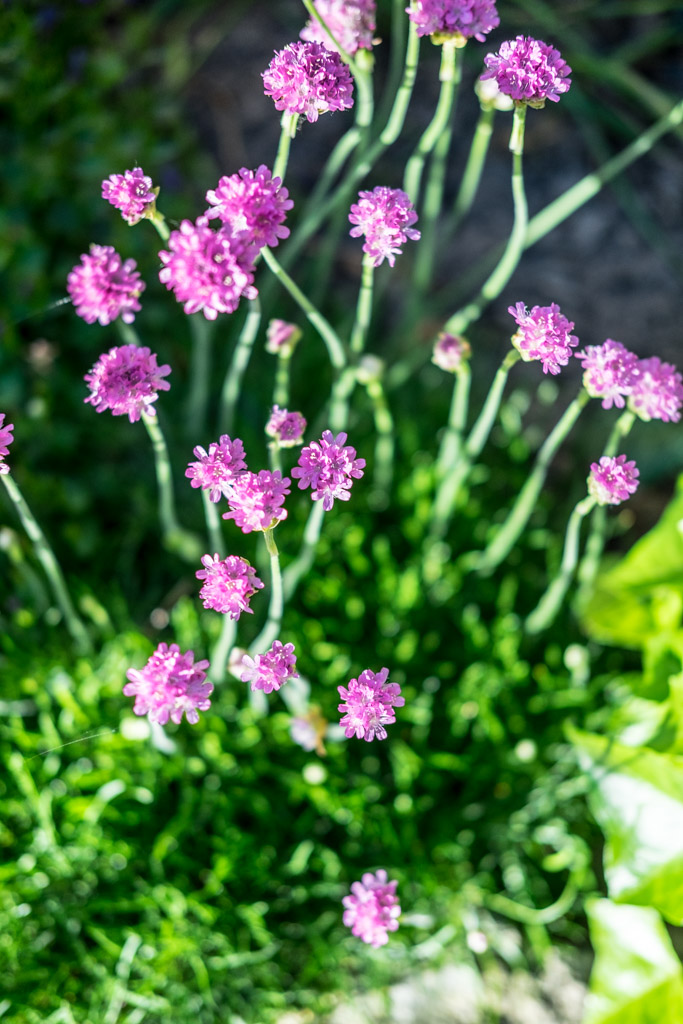 www.fim.works | Lifestyle-Blog | lila Staudenpflanze, Steinbeetpflanze