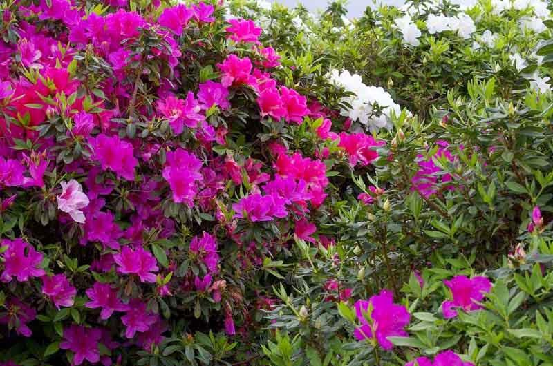 Azalea, flowers