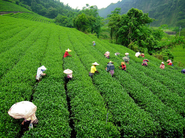 T1-Tea-Garden-In-Darjeeling