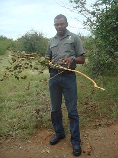safaariopas, oksa, norsu, mashatu, botswana