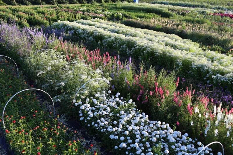 Cultivando Flores E Ilusiones Cut Flower Garden Nuevo