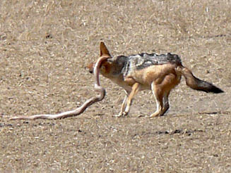 Mole Snake and Jackal