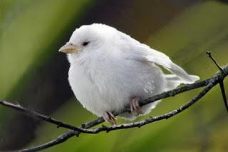 Resultado de imagen para Pardal albino