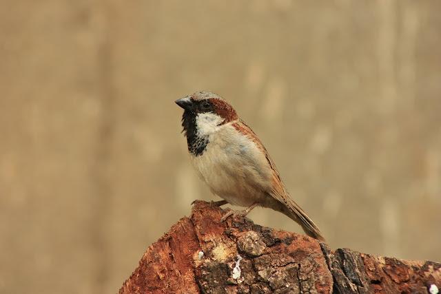 A male house sparrow at Biligiri Ranganathaswamy Temple, BR Hills, Karnataka, India