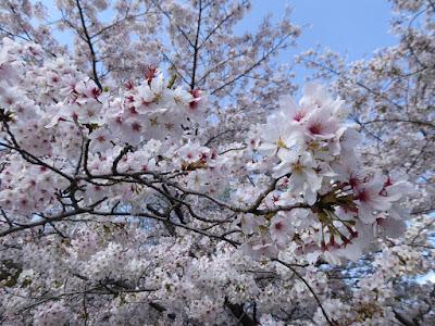 寝屋川公園の桜