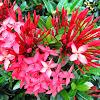 Nama Latin Bunga Asoka dan Manfaatnya