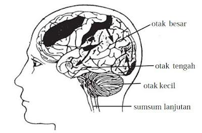 Bagian-bagian Otak dan Fungsi Otak Besar, Otak Kecil, Otak Tengah, Sumsum Lanjutan serta Sumsum Tulang Belakang