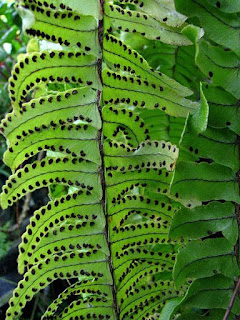 boston-fern-4L.jpg