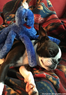 Sinead the Boston terrier resting with her toy