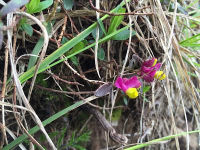 [Polygalaceae] Polygala chamaebuxus