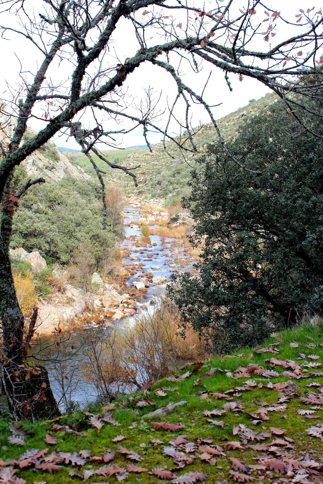 Roble rebollo en la ruta del boquerón de Estena-Cabañeros