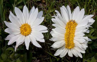 Fasciation on Wyethia helianthoides flowers