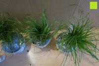 oben: Katzengras - Cyperus alternifolius - 3 Pflanzen - zur Verdauungsunterstützung von Katzen