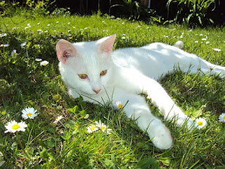 A white cat laying in some grass
