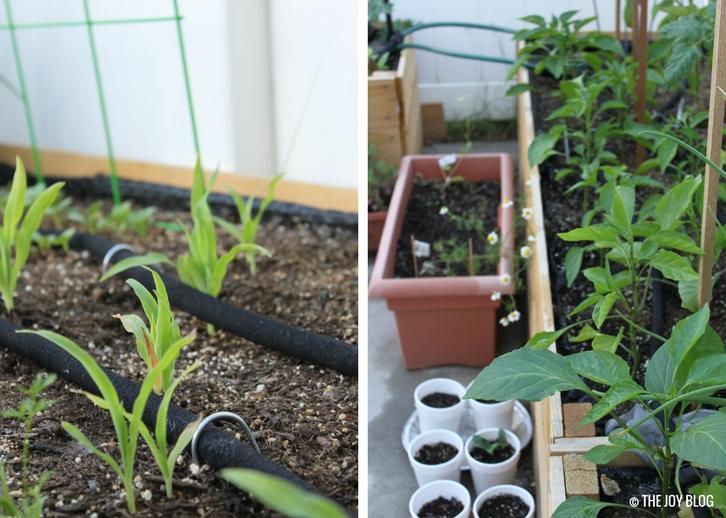 Corn seedlings, and raised bed garden // www.thejoyblog.net
