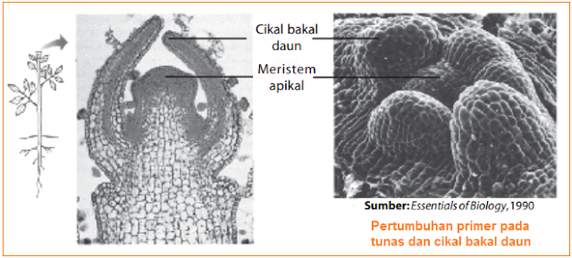 Gambar Pertumbuhan primer pada tunas dan cikal bakal daun