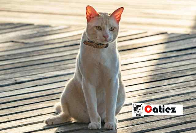 Asian Cat Breed