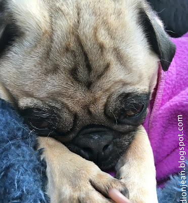 Liam the pug sleeping