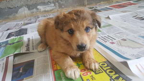 cachorra cruce border collie