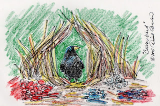 Sketch of a Bower bird proudly standing at the opening of his well decorated nest (c) 2015 by David Borden