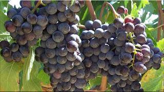gambar buah anggur