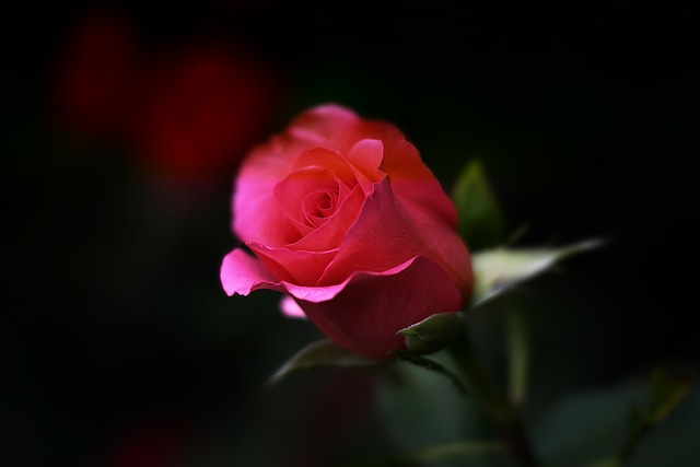 love rose image hd