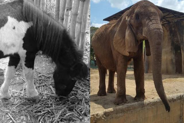 Crisis/ Mueren una elefanta y un pony en zoológico de Barquisimeto