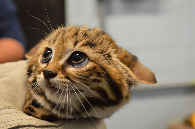#4 Black-footed Cat (Felis Nigripes)