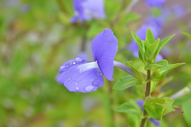 close up picture of neelakurinji flower, munnar neelakurinji flower 2016, neelakurinji blooming time, neelakurinji english name