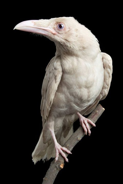 Raven | A-Z List of 125 Rare Albino Animals [Pics]