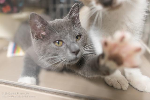 壁ドンしている灰色の猫の写真