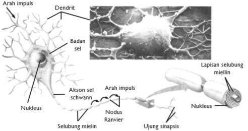 Struktur Sel Saraf