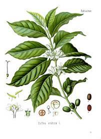 Καρποί και φυτό της Coffea Arabica.