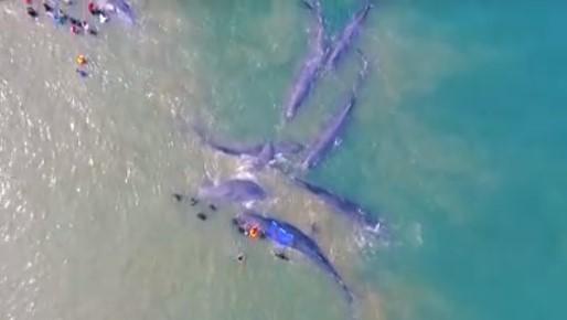 10 Ikan Paus Jenis Sperma Terdampar di Pantai Ujong Kareung, Aceh Besar,