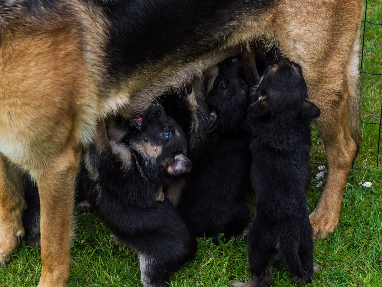 Month old German Shepherd pups standing up feeding from mom.